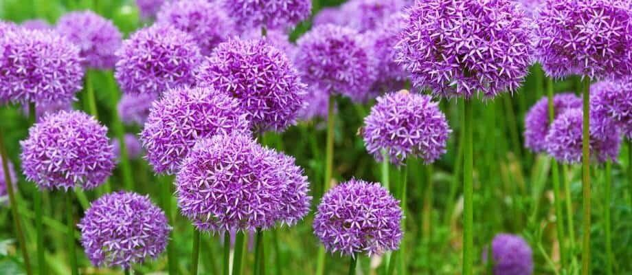 Allium flower bulbs in full bloom again